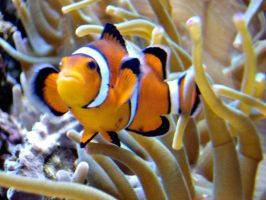 Clownfish - Stock by OneLifeStock