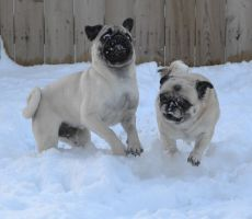 Pug Snow Plows (Pugs Playing In The Snow) by DaPuglet
