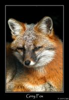Grey Fox by ewm