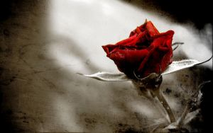 Rose wallpaper by no1particular