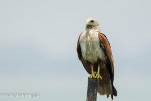 Brahminy Kite (red-backed sea-eagle) by DebasishPhotos