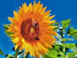 Sunflower - HDR by yoctox