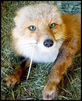 AK Red Fox Soft Mount 2 by Tricksters-Taxidermy