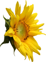 Sunflower PNG by Thy-Darkest-Hour
