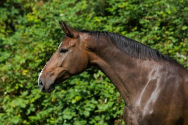 Bay Mare on Pasture Portrait 5 by LuDa-Stock