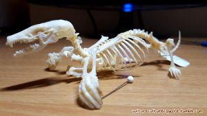 European Mole Skeleton by wingedwolf94