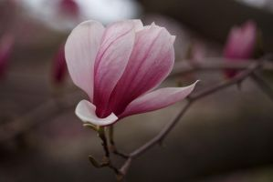 Magnolia Bloom by BlackRoomPhoto