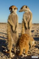 Meerkat Manor: Drie Doring (Patch and friends) by jaffa-tamarin