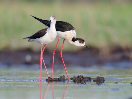 Pair Of Black-winged Stilts by Sergey-Ryzhkov