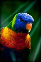 lory by GerbenT