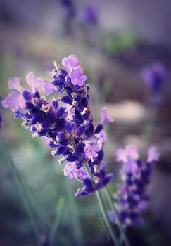 Lavenders by camnhungth