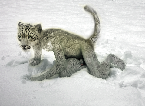 Snow Leopard - CF by Plankhead