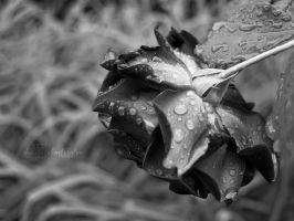 365 Challenge Day 39 - Rain tears. by NevhariaDGB