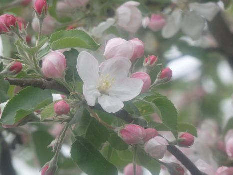 Apple Blossoms by Radman1919
