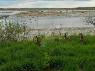 Geese and beaver dams by Android-shooter