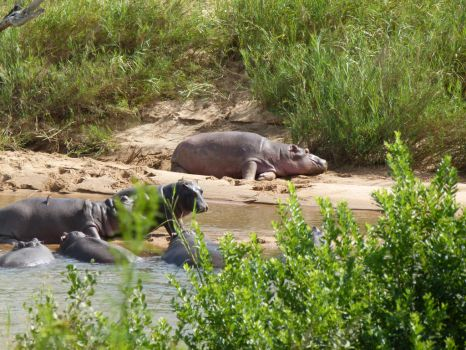 Hippo family - Kruger National Park by IATSATH