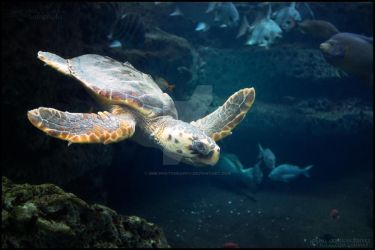 Sea Turtle by SMB-Photography