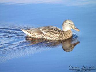 ... and Ms. Duck by Savrille