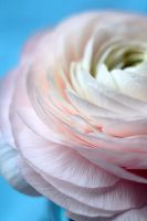 ranunculus by grezelle