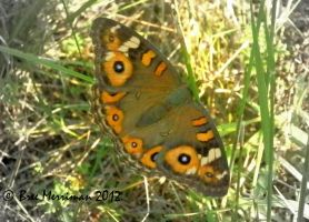 Meadow Argus by BreeSpawn