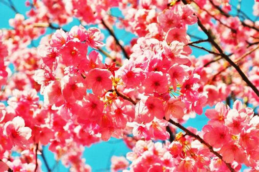 Pink cherry blossoms by Furuhashi335