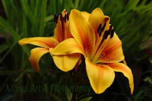 Golden Lily by Deb-e-ann