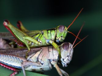 Grasshoppers Mating by suhleap