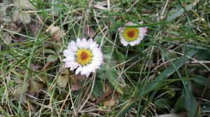 Daisies by AgnessAngel