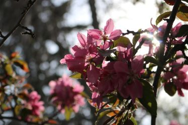 Backlit pink flowers by Meagharan