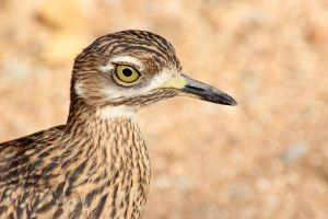 Cape Thick-Knee by shadowfire-x