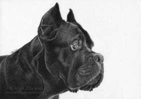 Cane corso ballpoint pen drawing by 22Zitty22