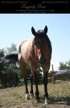 quarter horse stock 20 by tragedyseen