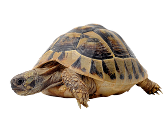 Steppe turtle on a transparent background by ZOOSTOCK