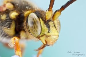 Nomad bee - Nomada sp. by ColinHuttonPhoto