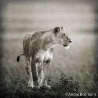 Lioness by 00Tiger00