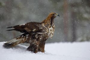 Golden Eagle in snow by Mateuszkowalski
