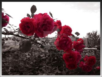 Roses in garden by maidphotox