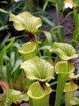 .stock: green pitcher plants. by guavon-stock