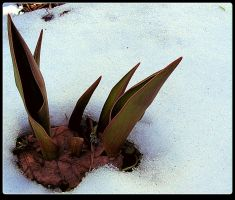 Tulips Leaves Out Of The Snow by surrealistic-gloom