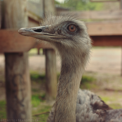 Ostrich by MonsterBrand