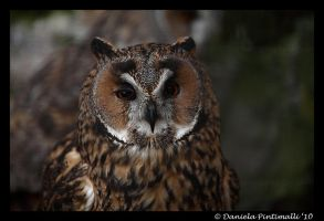 Owl: Cranky Face by TVD-Photography