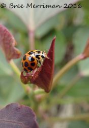 LadyBird Beetle by BreeSpawn