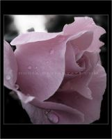 A rose by donia