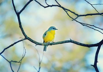 .:: Pretty yellow robin ::. by Whimsical-Dreams
