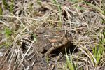 Frog of Reunion Island by A1Z2E3R