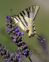 On The Lavender by Azagh