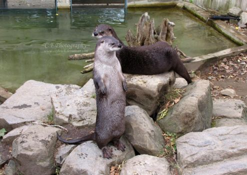 River Otters 431 by caybeach