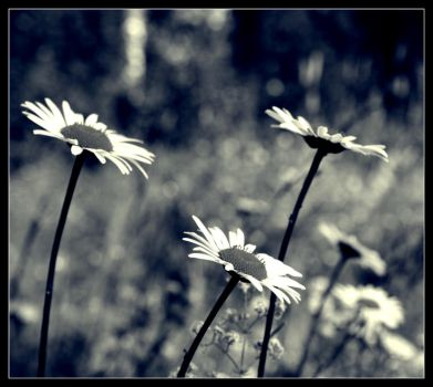 Daisies... by Skycode