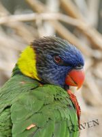 Rainbow Lorikeet headshot by GothicRavenMidnight