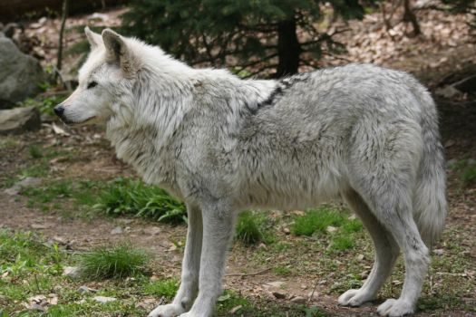 wolf 5 by ma8201